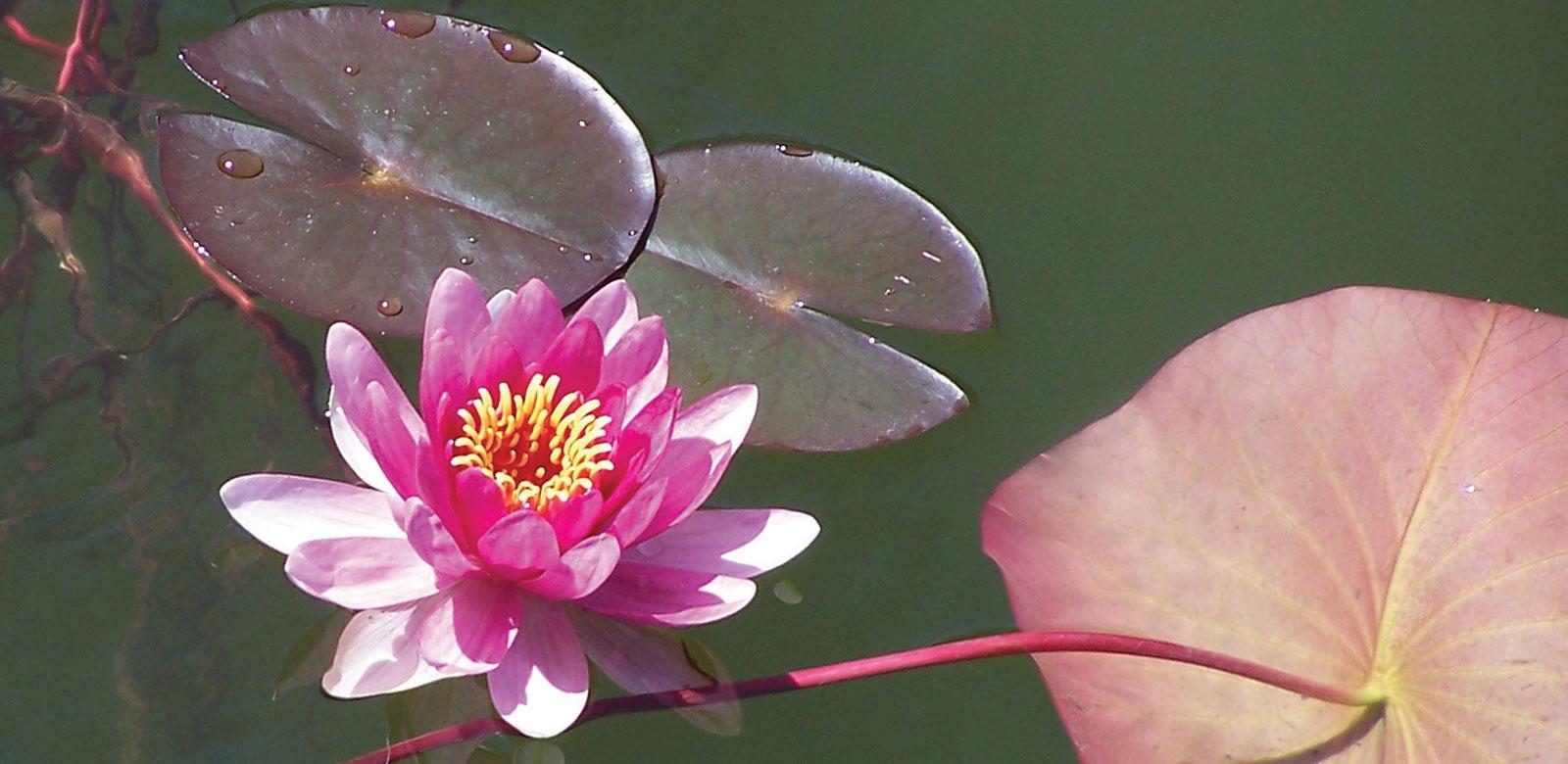 Développer son potentiel Nénuphar sur eau verte